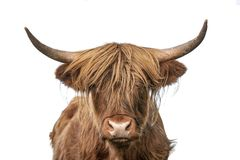 Highland cow headshot staring to the camera on white background