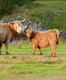 A highland cow and her calf. A scottish highland cow tending to her calf Royalty Free Stock Photography