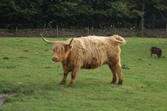 Highland cow. Highland cattle in a farm. Stock Images