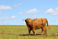 Highland cow on a hillside Stock Images