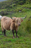 Highland Cow with His Mouth Hanging Open royalty free stock images