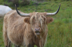 Highland Cow with his Mouth Open stock image