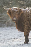 Highland cow with horns on a frosty morning Royalty Free Stock Images
