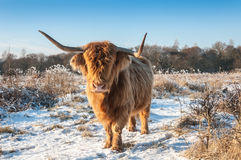 Highland cow with horns and invisible eyes because of its long h Royalty Free Stock Image