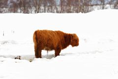 Highland Cow In The Snow Stock Photos