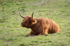 Highland cow. On the island of skye posing for the photographer Stock Photo