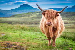 Highland cow in Isle of Skye, Scotland Stock Photography