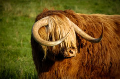 Highland cow. A highland cow with its fringe covering its eyes Stock Photography