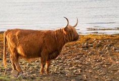 A highland cow by loch lomond. A scottish highland cow stood on the banks of loch lomond Royalty Free Stock Photography