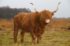 Highland cow with long horns Stock Images