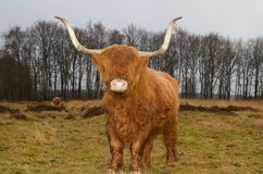 Highland cow with long horns Stock Photo