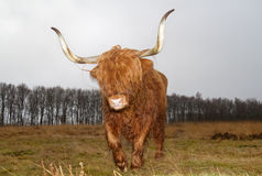 Highland cow with long horns Stock Photos