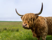 Highland cow. Highland cow with long horns in Scotland Stock Image