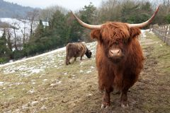Highland Cow Looking At Camera Royalty Free Stock Photography