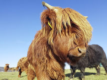 Highland cow looks into camera Royalty Free Stock Photography