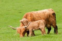 Highland cow with loving calf Royalty Free Stock Photo