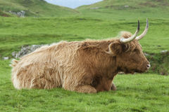 Highland Cow Lying down Stock Photo