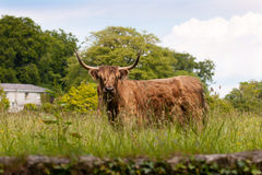 Highland cow in meadow Stock Photo