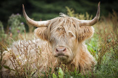 Highland Cow. Highland Cow in meadow in the Scottish Highlands royalty free stock photography