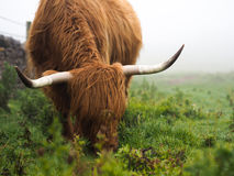 Highland Cow in the Mist. A Scottish Highland Cow grazing in a field Royalty Free Stock Image