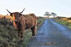 Highland cow on moorland. Highland cow standing on a country road that runs through moorland stock photography
