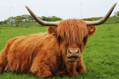 Highland Cow. A mother highland cow relaxing in the spring Royalty Free Stock Photography