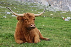 Highland cow in mountain meadows. A highland cow sit in mountain meadows, Alto Adige (Italy Royalty Free Stock Image