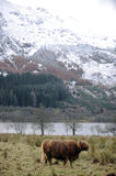 Highland cow by mountains Royalty Free Stock Photos