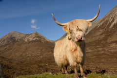 Highland cow. With mountains in the background Stock Photo