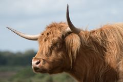 Highland cow in the New Forest royalty free stock images