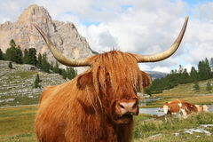 Highland cow in pasture Royalty Free Stock Photo