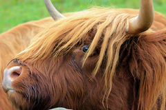 Highland cow in pasture Stock Image