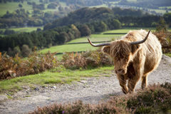 Highland Cow in the Peak District, UK Stock Photos