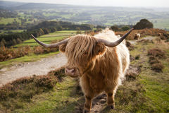 Highland Cow in the Peak District, UK Royalty Free Stock Images