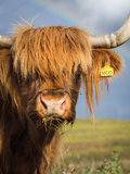 Highland Cow Portrait. Close up portrait of a highland cow in sunshine with partial rainbow in background Stock Photography