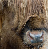 Highland Cow. A PORTRAIT OF A Scottish Highland Cow Royalty Free Stock Photography
