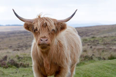 Highland cow portrait. Highland cow at the side of the road on Dartmoor, Devon, England Royalty Free Stock Photo