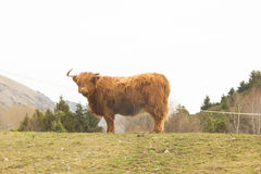 Highland cow profile Royalty Free Stock Photography