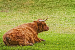 Highland Cow Resting Royalty Free Stock Photography