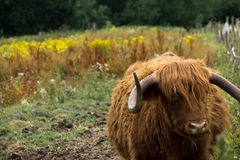 A highland cow on the river bank stock image