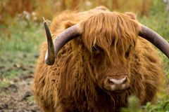 A highland cow on the river bank royalty free stock image