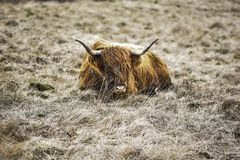Highland Cow On Rugged Farmland, Peak District National Park, Derbyshire, UK stock image