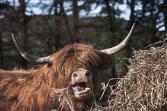 Highland Cow in Scotland. Highland Cow feeding on hay in the Scottish Highlands royalty free stock photography