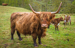 Highland Cow, Scotland Royalty Free Stock Photography