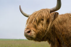 Highland cow of Scotland with long horns a portrait. Highland cow of Scotland, europe Stock Photography