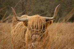 Highland Cow in Scotland. A photo that I took of a beautiful Highland Coo in Scottish Highlands stock photography