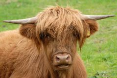 Highland cow in Scotland stock image