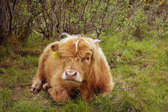 Highland Cow in Scotland Royalty Free Stock Photography