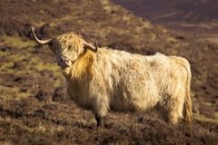 Highland cow from Scotland Royalty Free Stock Photo