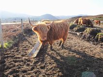 Highland Cow Stock Photography